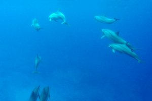 Swimming With Dolphins In Kona – What To Expect On Your Trip