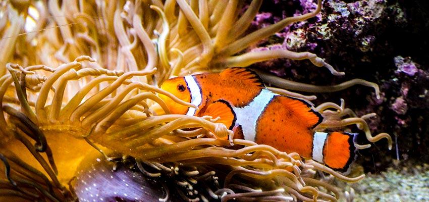 Shedd Aquarium Clownfish