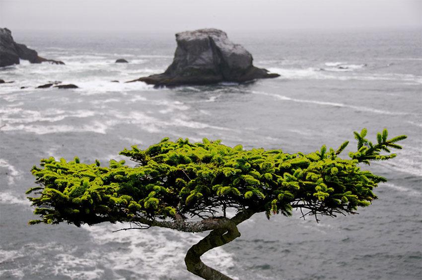 Cape Flattery Tree