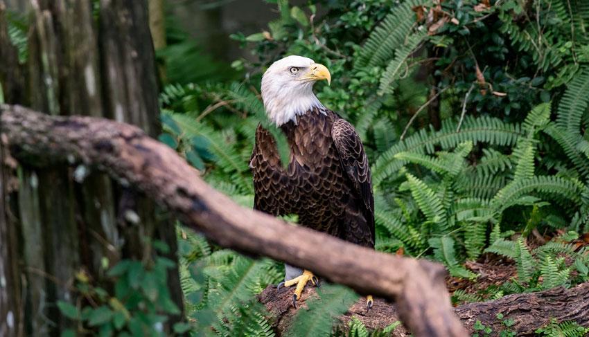 Ketchikan Bald Eagle